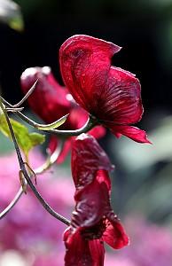 norsk rosablomst som vokser langs veien
