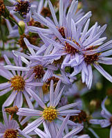 Aster subspicatus 11