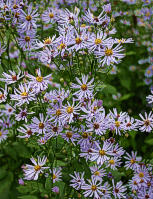 Aster subspicatus 7