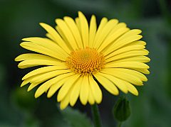 Doronicum grandiflorum x orientale 2 th