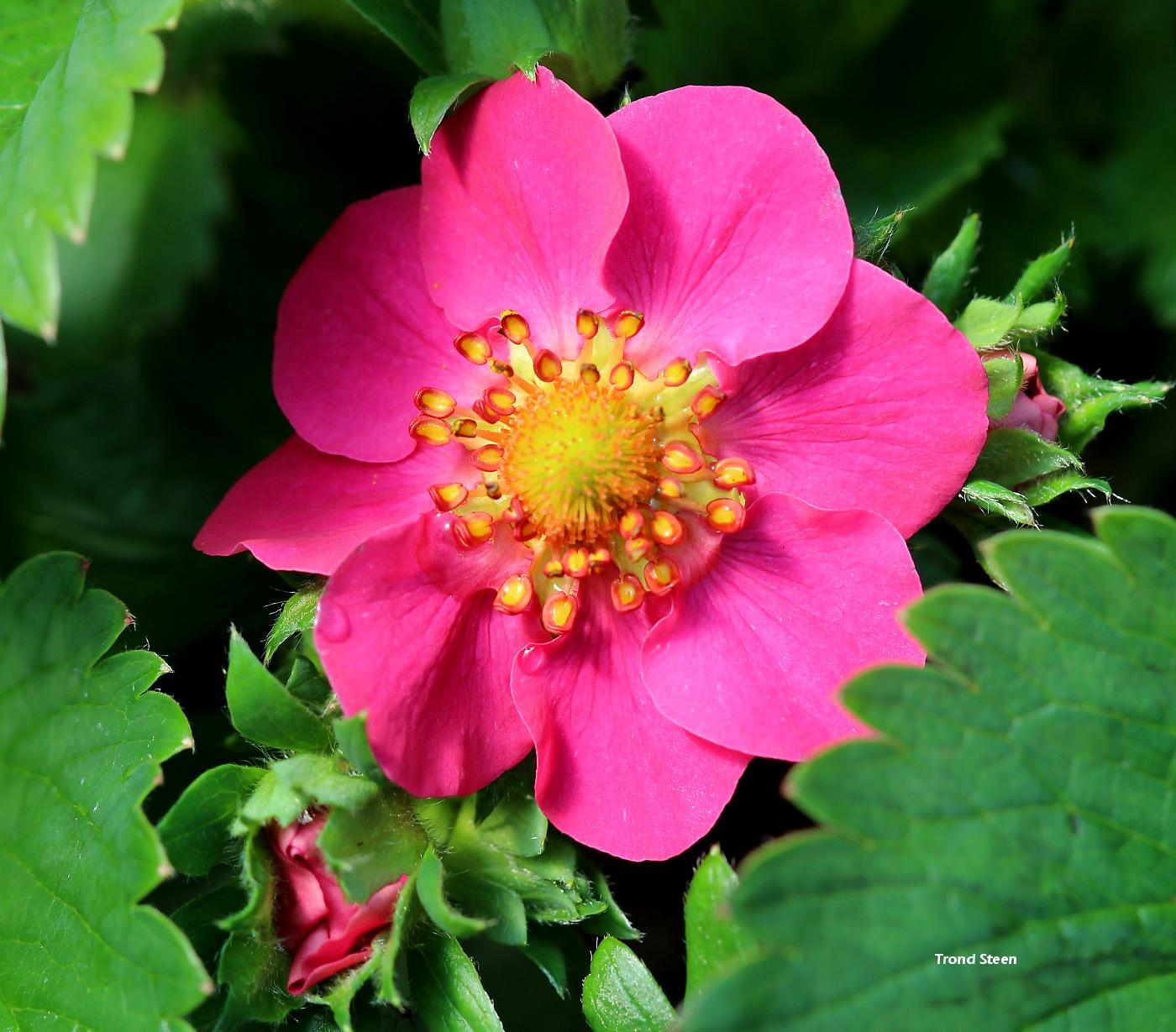 lave stauder pink