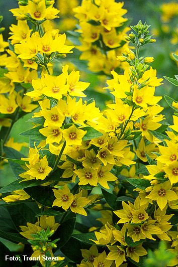 Images of yellow perennial flowers spacehero tall yellowish perennial for shade early summer flowering mightylinksfo
