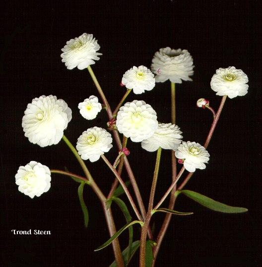 ranunkel auf der fensterbank oder rausstellen pflanzen botanik green24 hilfe pflege bilder. Black Bedroom Furniture Sets. Home Design Ideas