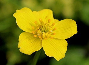 Trollius vaginatus